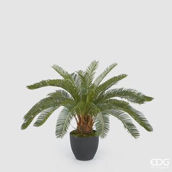 Palm Cycas
